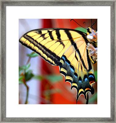Swallowtail Wing Framed Print by Heather S Huston