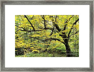 Swamp Birch In Autumn Framed Print by Thomas R Fletcher