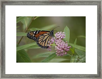 Swamp Milkweed Monarch Framed Print by Randy Bodkins