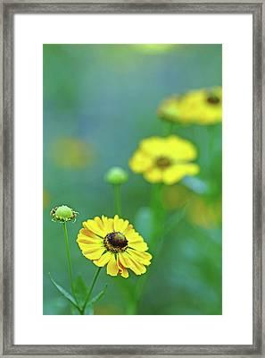 Swamp Sunflower Framed Print