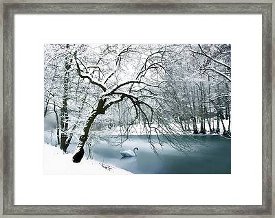 Swan A Swimming Framed Print by Jessica Jenney