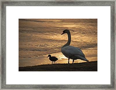 Framed Print featuring the photograph Swan And Baby At Sunset by Richard Bryce and Family