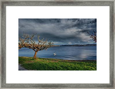 Swan And Tree Framed Print