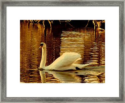 Swan Dance Framed Print