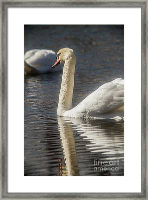 Framed Print featuring the photograph Swan by David Bearden