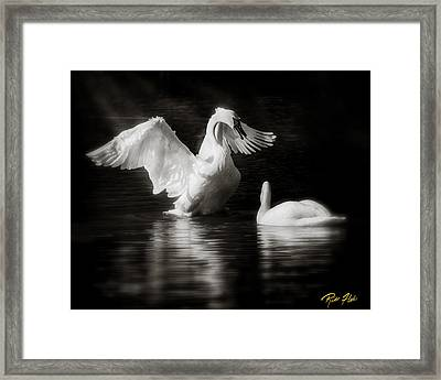 Swan Display Framed Print by Rikk Flohr