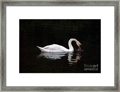 Swan Drinking Framed Print by Clayton Bruster