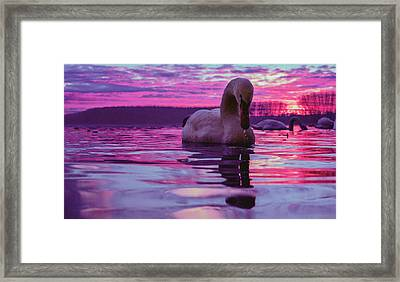 Swan During Purple Sunset Framed Print