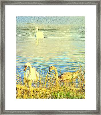 The Happy Swan Family Is Floating Into Your Heart     Framed Print by Hilde Widerberg