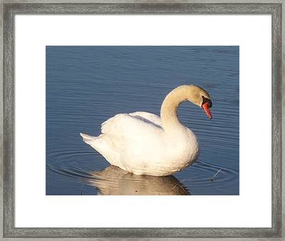 Swan  Framed Print by Eric  Schiabor
