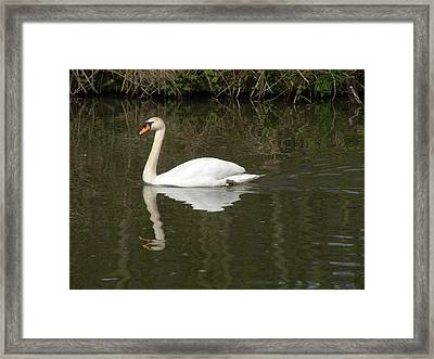 Swan Facing Left Framed Print by Shannon Labout