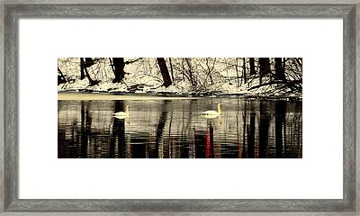 Swan Family Framed Print by Aron Chervin