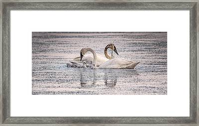 Swan Family Framed Print