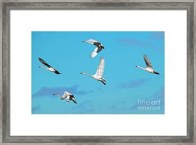 Swan Flight Framed Print by Mike Dawson