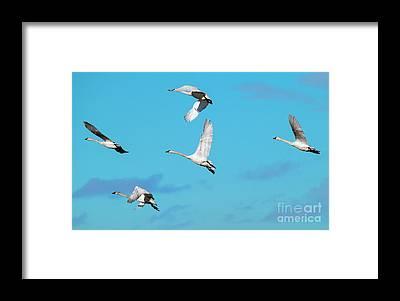 Tundra Swan Framed Prints
