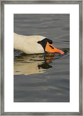 Swan Head  Framed Print