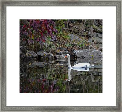 Swan In Autumn Reflections Framed Print