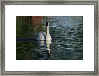Swan In Calm Waters Framed Print by Jeff Swan