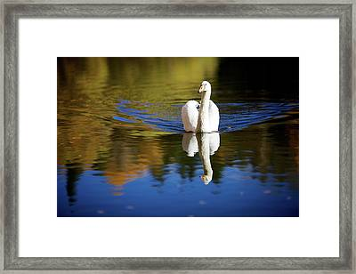 Swan In Color Framed Print by Teemu Tretjakov