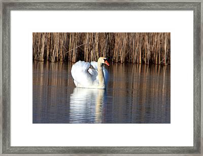 Swan In Marsh Framed Print by Dave Clark