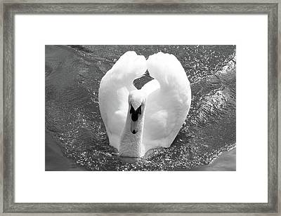 Swan In Motion Framed Print
