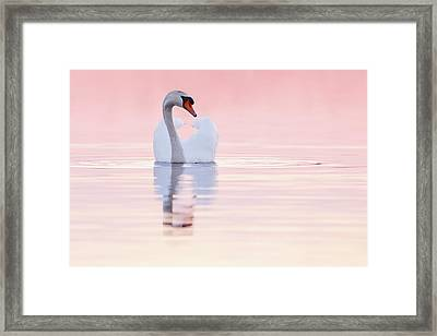 Swan In Pink Framed Print