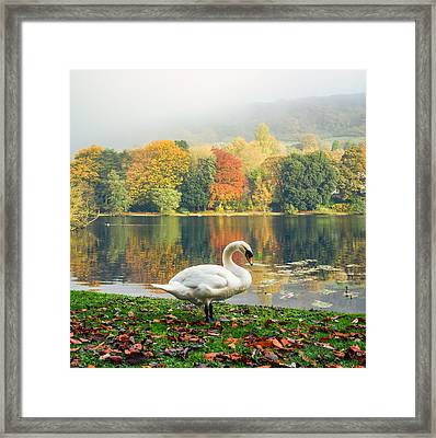 Swan In The Autumn  Framed Print