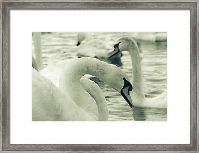 Swan In Water Framed Print
