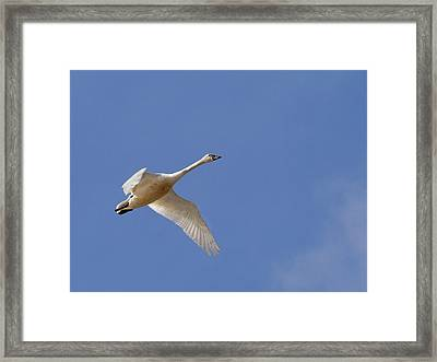 Tundra Swan  Framed Print by Jean Noren