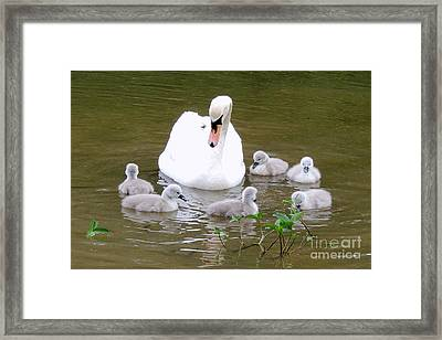 Framed Print featuring the photograph Swan Lake 1 by Bill Holkham