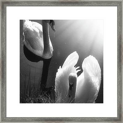 Swan Lake In Winter -  Kingsbury Nature Framed Print