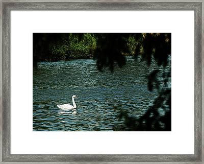 Swan Lake Michigan Framed Print