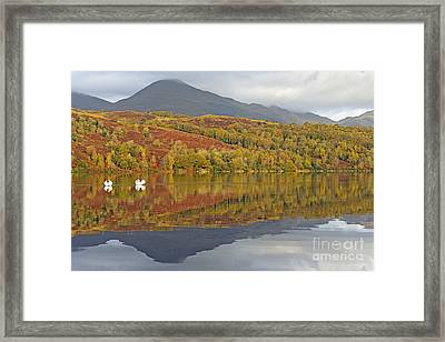 Swan Lake Reflections Of Lakeland Framed Print by Richard Thomas