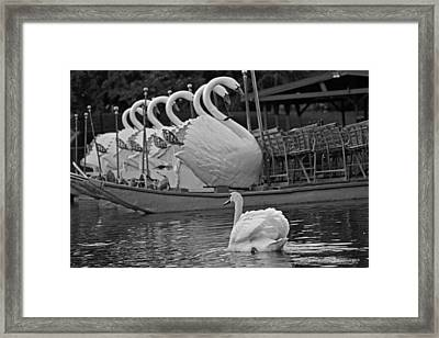 Swan Meeting Up With Some Friends Black And White Framed Print by Toby McGuire