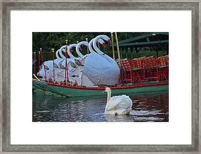Swan Meeting Up With Some Friends Framed Print by Toby McGuire