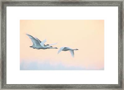 Framed Print featuring the photograph Swan Migration  by Kelly Marquardt