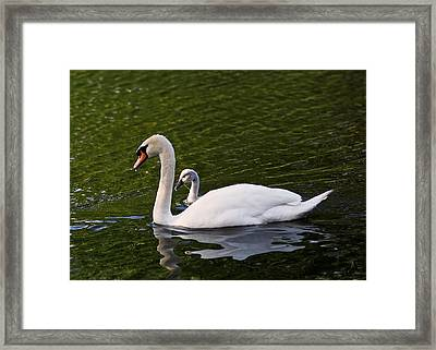 Swan Mother With Cygnet Framed Print