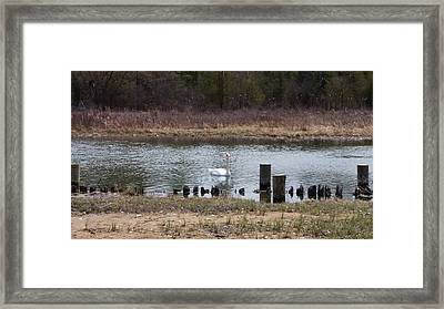 Framed Print featuring the photograph Swan Of Crooked River by Wendy Shoults