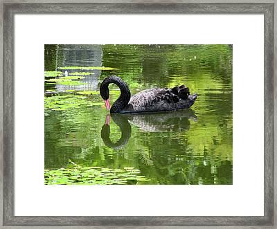 Swan Of Hearts Framed Print