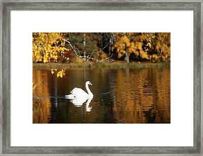 Swan On A Lake Framed Print by Teemu Tretjakov