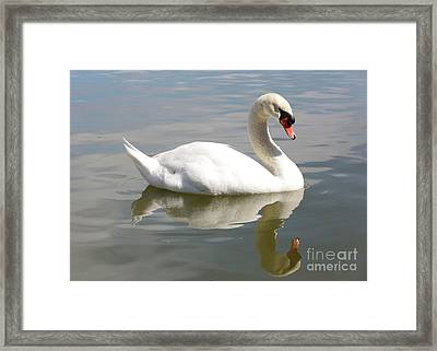 Swan Reflecting Framed Print