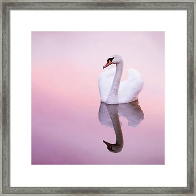 Swan Reflections Framed Print