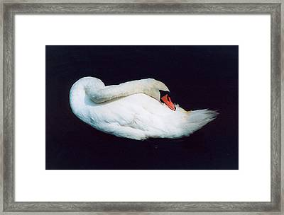 Swan Framed Print by Richard Mansfield