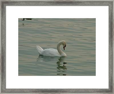 Swan Framed Print by Rita Fetisov
