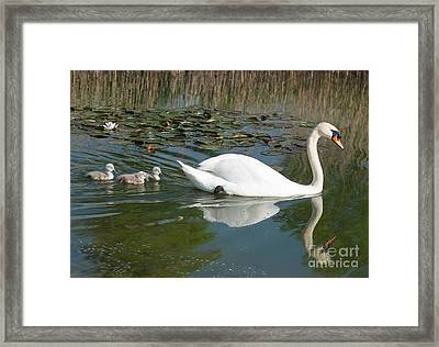 Swan Scenic Framed Print by Andrew  Michael