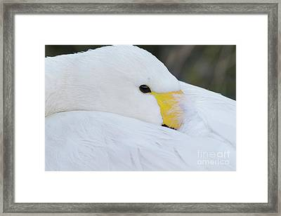 Framed Print featuring the photograph Swan Siesta by Paul Farnfield