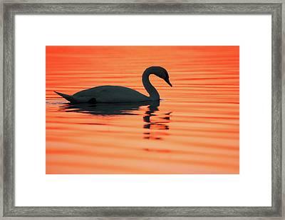 Swan Silhouette Framed Print by Roeselien Raimond