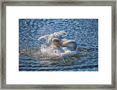 Swan Splish Splash Framed Print by Christine Martin-Lizzul