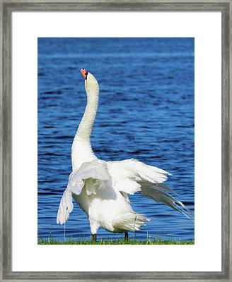 Swan Stretch Framed Print by Bonnie Phillips