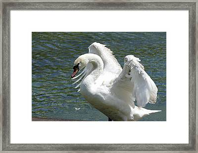 Swan Stretching Its Wings Framed Print by Bill Jordan